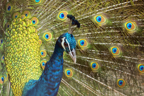 Foto op Aluminium Pauw Peacock with Feathers Out