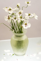 White poppies in a vase