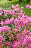 Bush of pink rhododendron flowers in garden