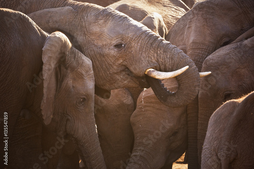 Poster Herd of elephants in Addo Elephant National Park, South Africa