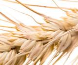wheat on a white background. macro