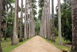Botanical garden of Rio de Janeiro. Beautiful road surrounded by palm trees. Brazil