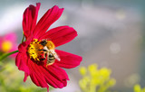 Bee on red Cosmos flower.