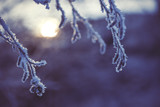 frozen branch in sunset, winter and snowy background