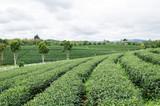 Green tea field in winter season,Chiangrai,Thailand