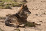 Iberian wolf. Canis lupus