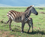 Zebras with baby in the Crater Ngorongoro National Park - Tanzania, East Africa