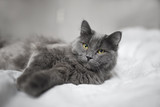 Fluffy gray cat on a dark background