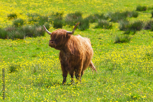 Highland scottish Cow Plakát