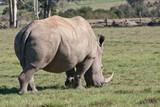 White rhinoceros eat grass. Square-lipped rhinoceros, ceratotherium simum. South Africa.