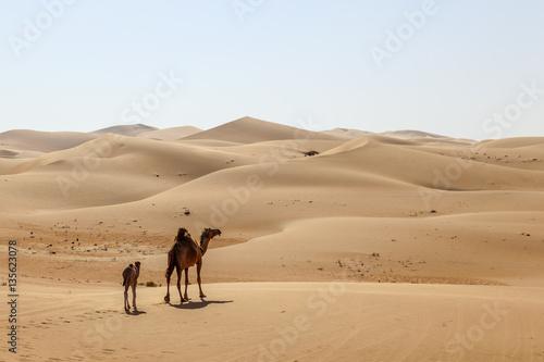 Camel family in the desert