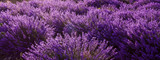 Lavender flowers, panoramic background
