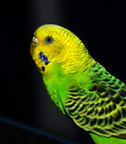 Parakeet in a cage.