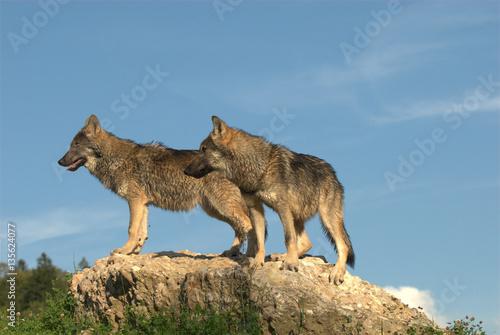 Wölfe auf Stein Poster