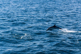 Dolphins jump in the wake of a boat in the Pacific ocean off the coast of Ventura, California