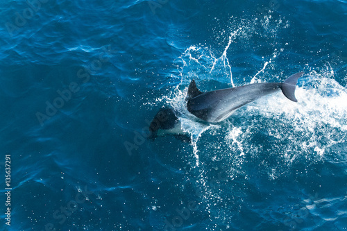 Dolphins jump in the Pacific ocean off the coast of Ventura, California