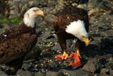 Bald Eagles Feeding on Salmon, Sitka, Alaska