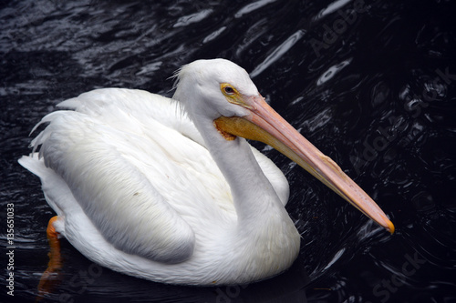 Poster White Pelican/Close up of great white pelican floating on dark water
