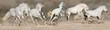 White horse herd run in desert dust. Panorama for web