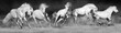 Horses run gallop in sandy field. Panorama for web black and white