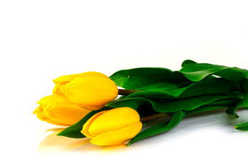 flowers yellow tulips on a white background