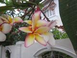 Plumeria rubra flower.