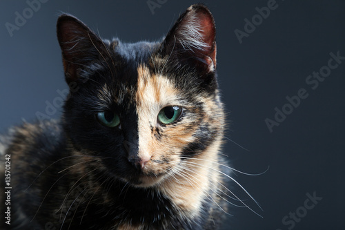 Poster Tortoiseshell cat on grey backrgound isolated