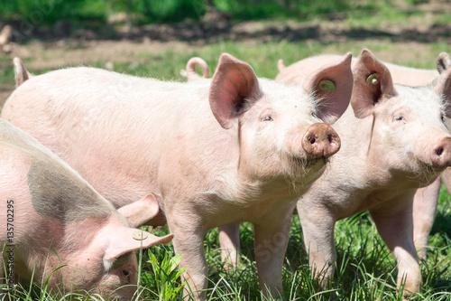 Foto Murales Rosa Schweinchen auf der grünen Wiese-Bioschweine