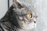British cat looking intently at the window. Focus on cat eyes