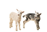 small goats isolated