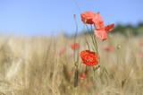 Mohnblüten im Kornfeld I