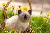 Cute Siamese kitten sitting in a basket on a meadow of dandelions