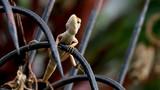 Chameleon on the stockade iron in the garden