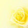 Blurred soft yellow rose background.