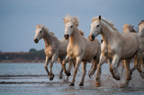 Horses running free in Camargue - Southern France