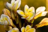 Plumeria flowers white, yellow
