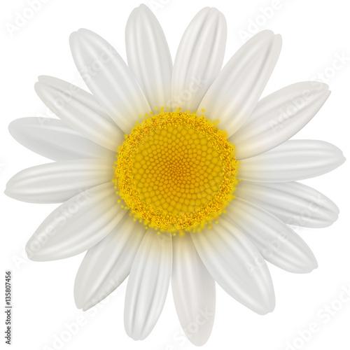 Daisy flower isolated