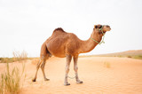 Dromedary in the Sahara desert two