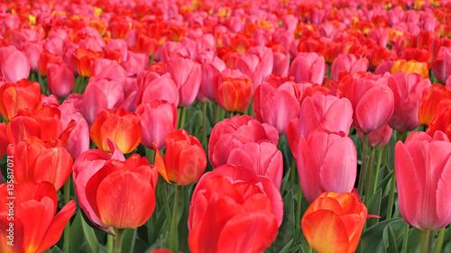 Tulpenfeld im Frühling