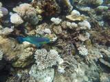 Colorful parrot fish among corals, Maldives
