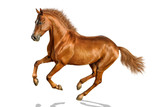 Chestnut horse is freely cantering. - 135840625