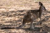 Kangaroo standing in the shade