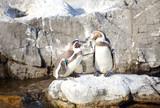 Little Penguin or Humboldt Penguins stand on a rock