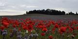 Fototapeta Nature - poppy field © Katarzyna
