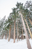 Winter landscape , Trees with snow in forest