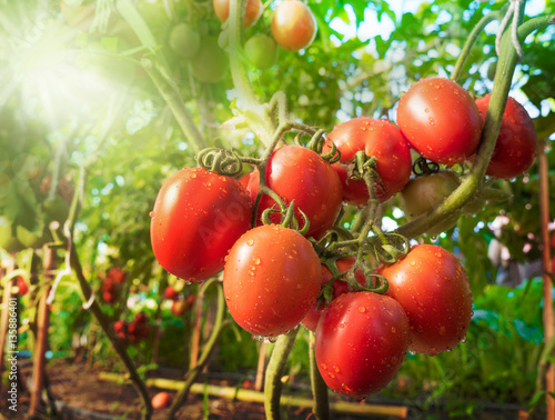 Tomato fruit with water drop and sunlight