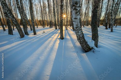 beautiful sunset at birch forest at winter season