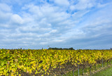 vineyard with yellow leaves under blue sky