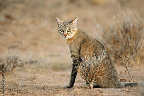 Poster An African wild cat (Felis silvestris lybica), Kalahari desert, South Africa
