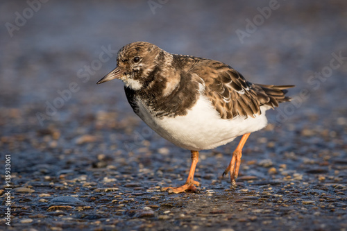 Poster Ruddy Turnstone